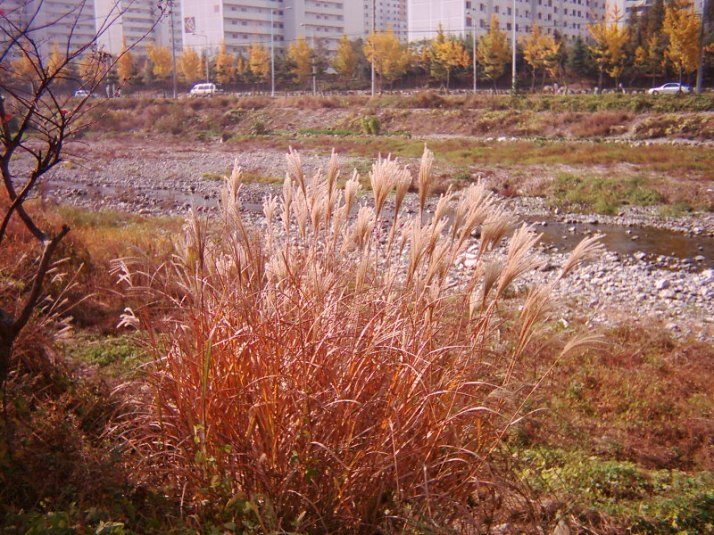 Koreans love these fall grasses